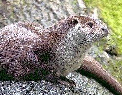 loutre-d-europe